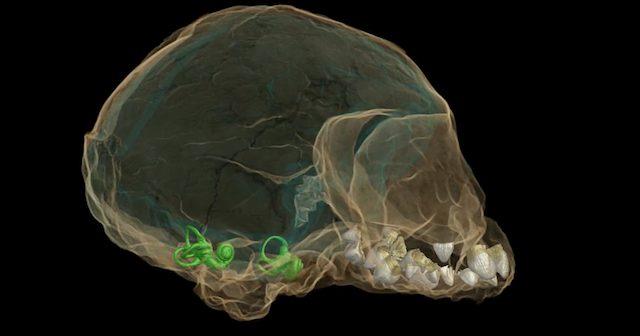 Alesi, svelato il volto dell'antenato comune tra scimmie e uomo: ha 13 milioni di anni