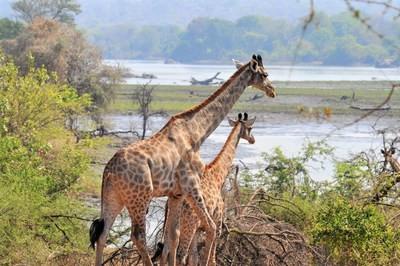 African Parks annonce que la population de girafes du Malawi augmente avec leur introduction dans la réserve Majete