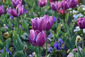 Il simbolo dell'amore puro: il Tulipano